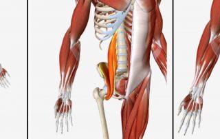 הדמיה של שרירי המותן כסל מזוויות שונות